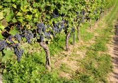 Weinevents der Weinregion Rheinhessen