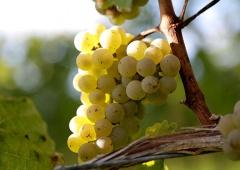 evinum Magazin, Weintrauben im Herbst